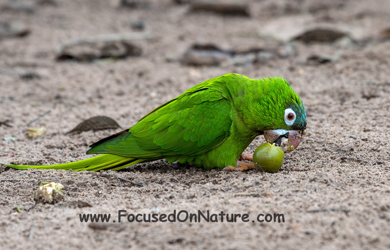 Blue-crowned Parakeet with Palm Nut