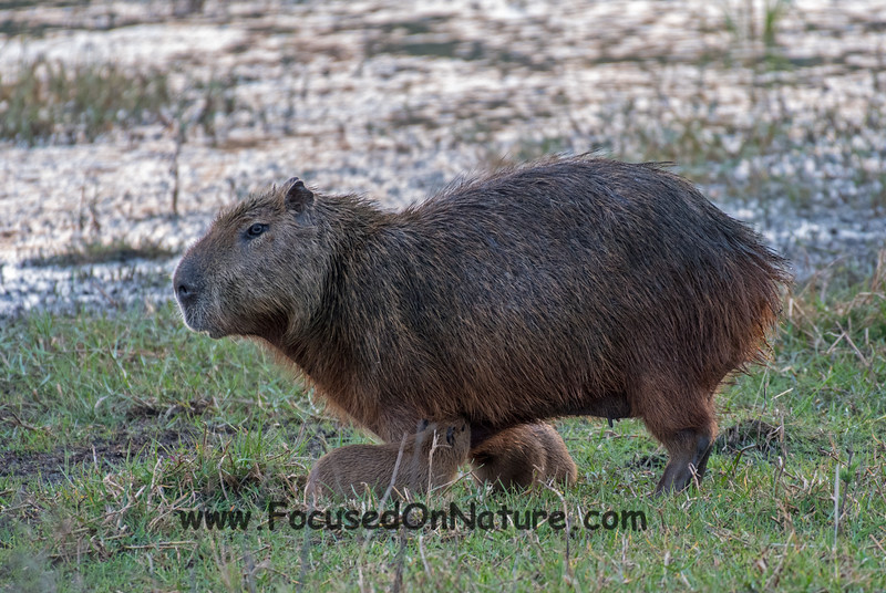 Capybara Nursing