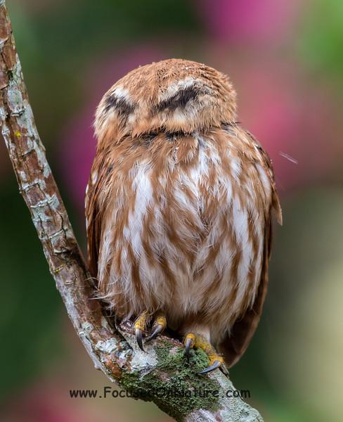 Ferruginous Pygmy Owl Fake Eyes