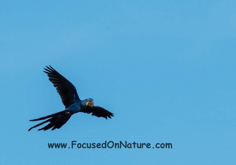 Hyacinth Macaw in Flight
