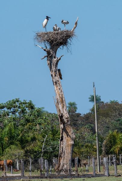 Jabiru Nest