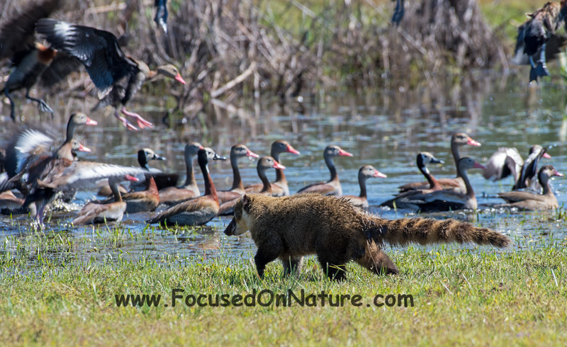 Coati Duck Hunting