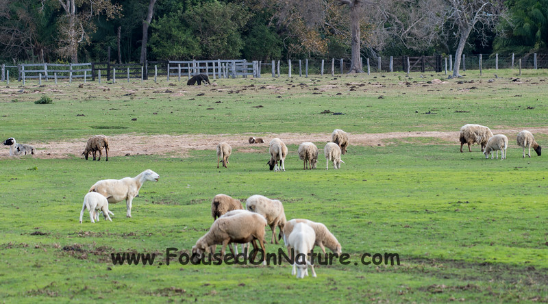 Not Just Sheep Grazing