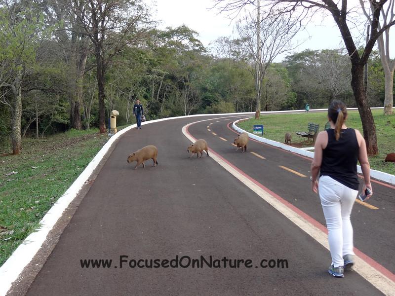 Capybara in the Park