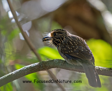 Cresent-chested Puffbird with Bee