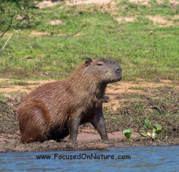 Male Capybara