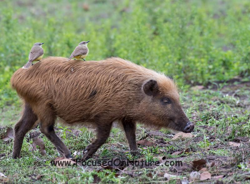 Feral Pig Uber Driver
