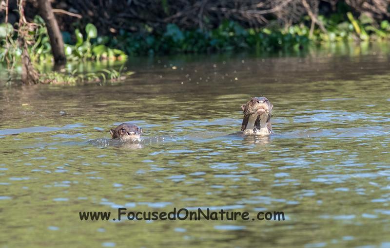 Giant Otter Pair