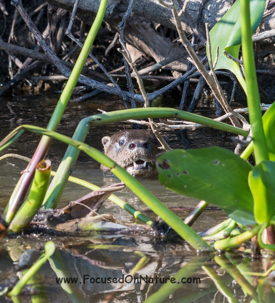 Neotropical River Otter Spotting Us