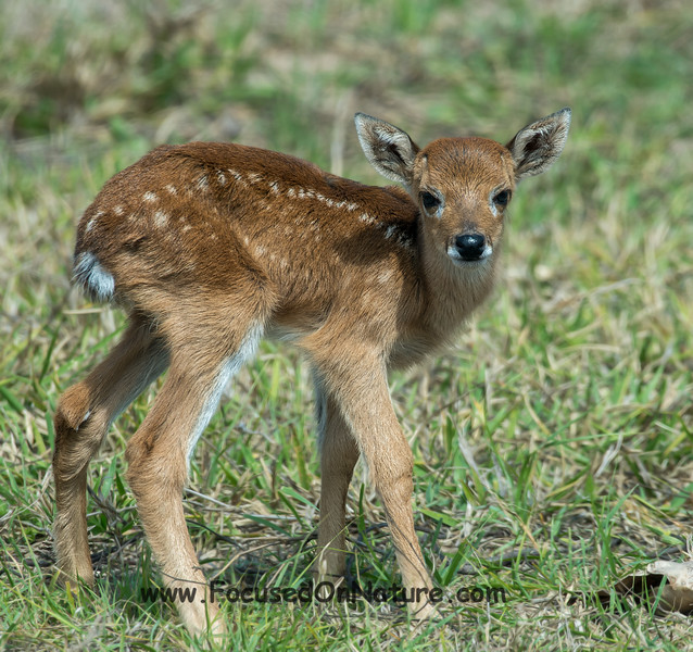 Pampas Deer Fawn in the