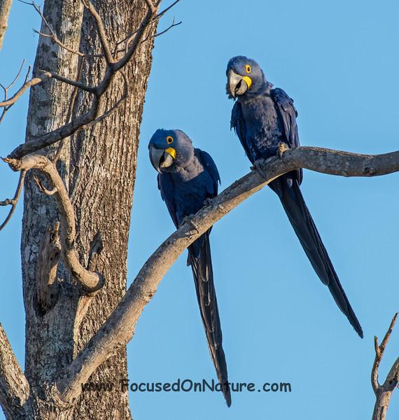 Hyacinth Macaw Pair