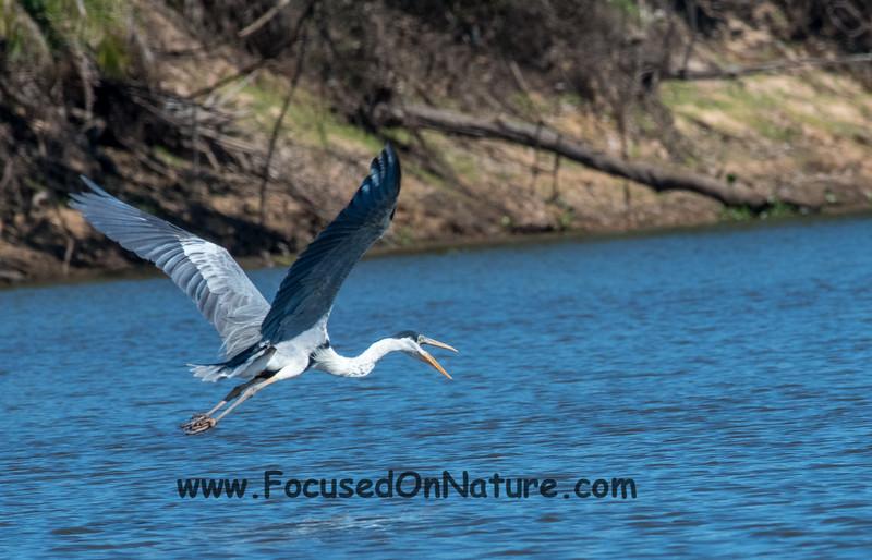Heron Squawking at Us