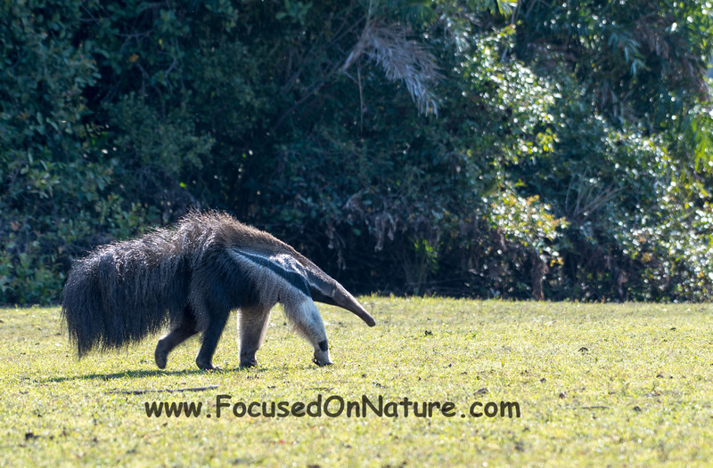 Tracking the Giant Anteater