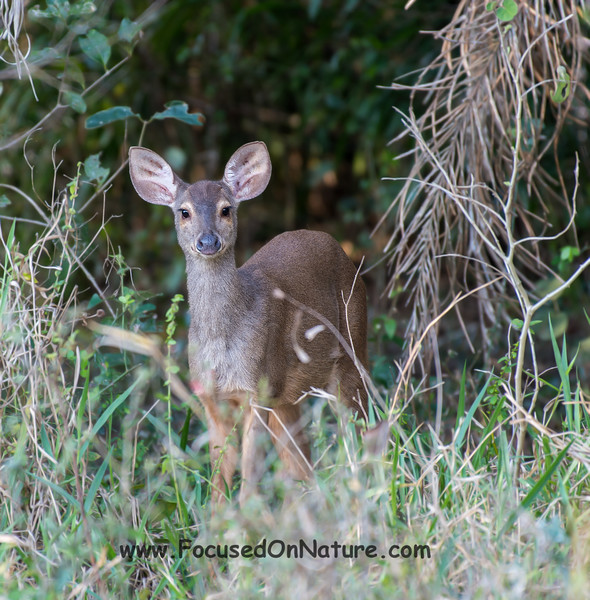 Gray Brocket Deer