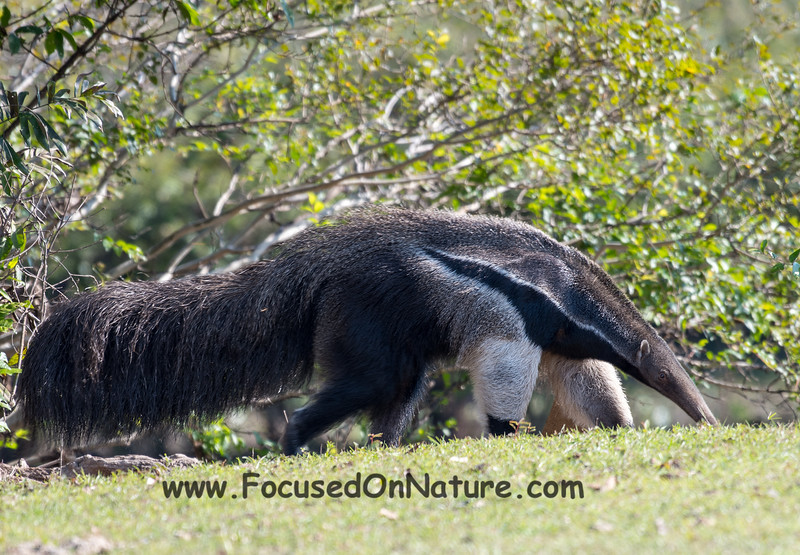 Another Giant Anteater