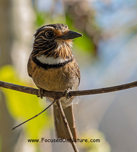 Cresent-chested Puffbird