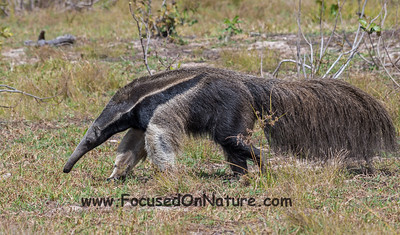 Giant Anteater Moving Closer