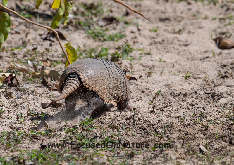 Typical Armadillo Sighting