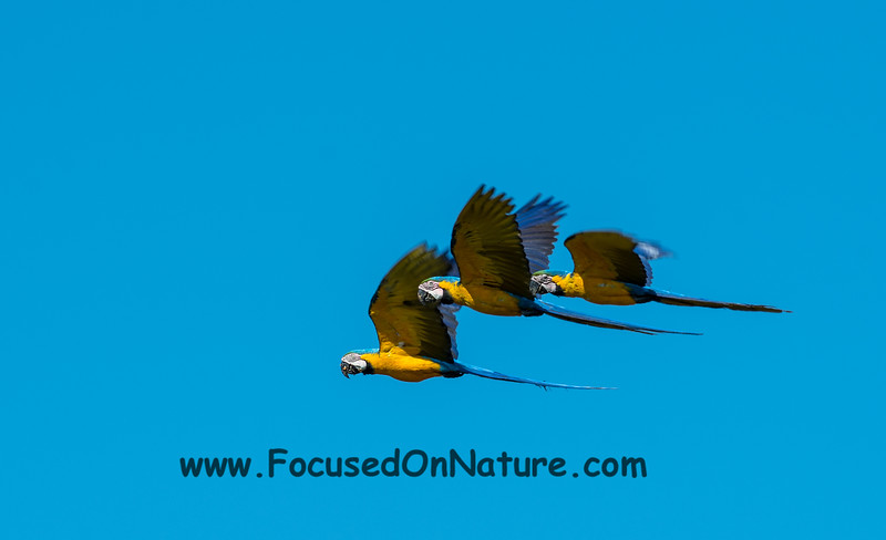 Blue and Yellow Macaw Flyby