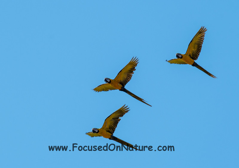 Blue and Yellow Macaw Fly By