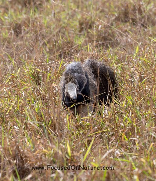 Giant Anteater Head On