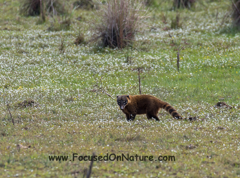 Coati in the Flowers