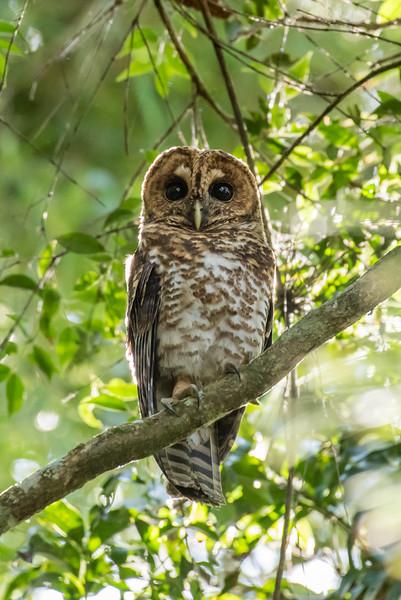 9-6-16 Rusty-barred Owl - Brazil-0182