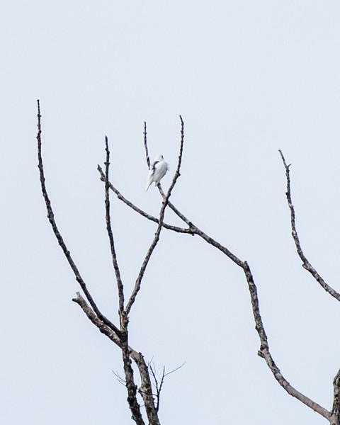 9-6-16 Bare-throated Bellbird - Brazil-0137