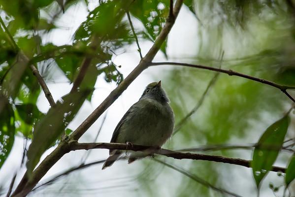 9-6-16 Pin-tailed Manakin - Brazil-0126