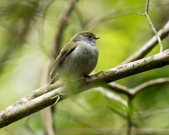 9-6-16 Pin-tailed Manakin - Brazil-0120