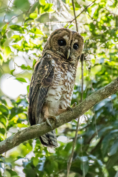 9-6-16 Rusty-barred Owl - Brazil-0153