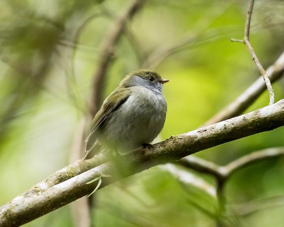 9-6-16 Pin-tailed Manakin - Brazil-0119
