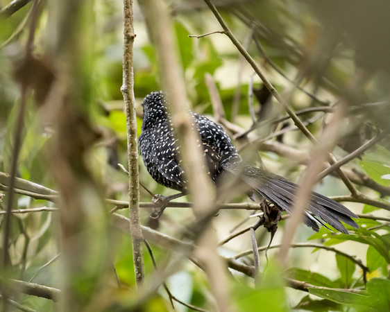 9-6-16 Large-tailed Antshrike - Brazil-0111