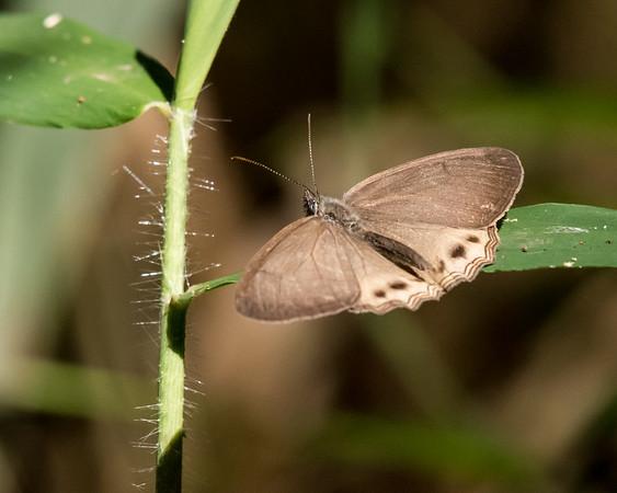 9-6-16 Butterfly - Brazil-0200