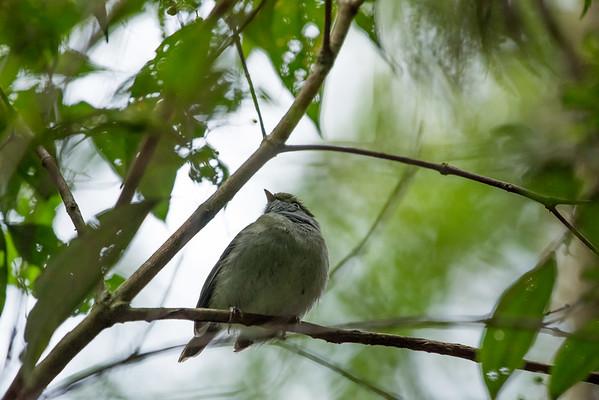 9-6-16 Pin-tailed Manakin - Brazil-0122