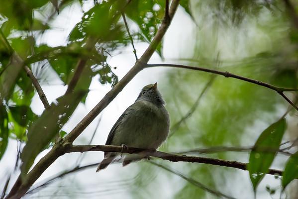 9-6-16 Pin-tailed Manakin - Brazil-0124
