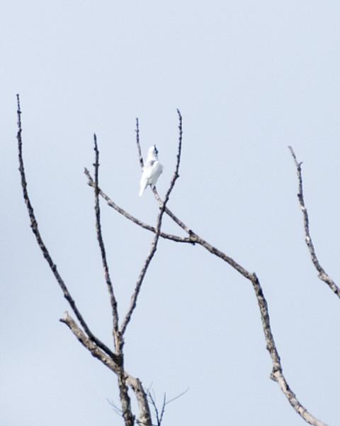 9-6-16 Bare-throated Bellbird - Brazil-0148