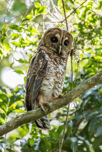 9-6-16 Rusty-barred Owl - Brazil-0152