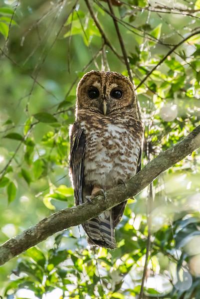 9-6-16 Rusty-barred Owl - Brazil-0179