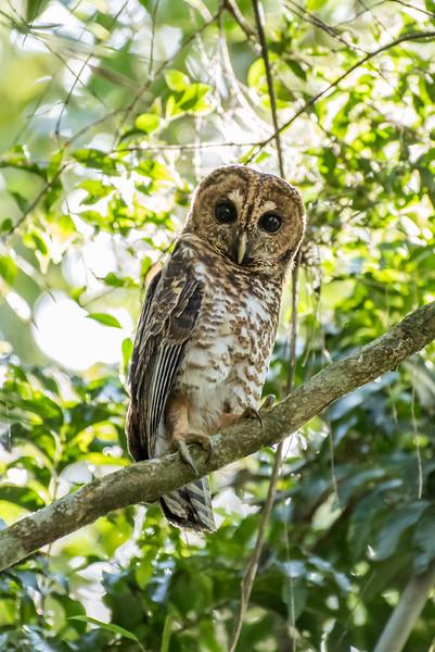 9-6-16 Rusty-barred Owl - Brazil-0160