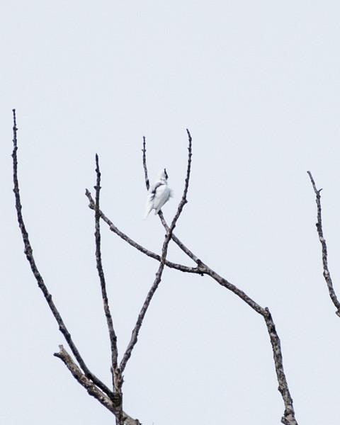 9-6-16 Bare-throated Bellbird - Brazil-0141