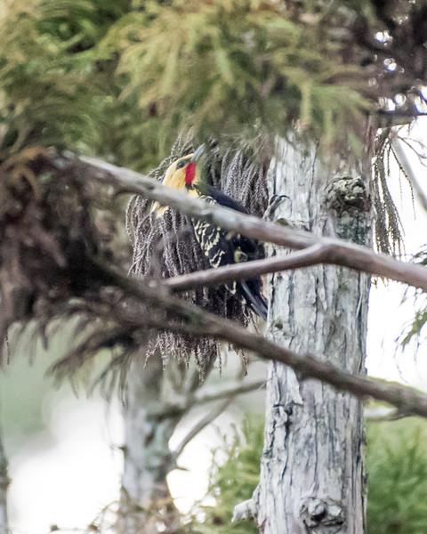 9-6-16 Blond-crested Woodpecker - Brazil-0099