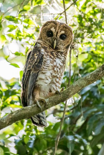 9-6-16 Rusty-barred Owl - Brazil-0156
