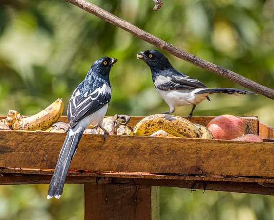 9-6-16 Magpie Tanager - Brazil-0214