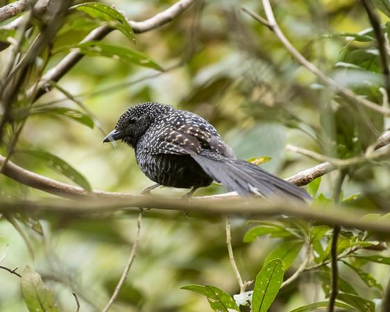 9-6-16 Large-tailed Antshrike - Brazil-0115