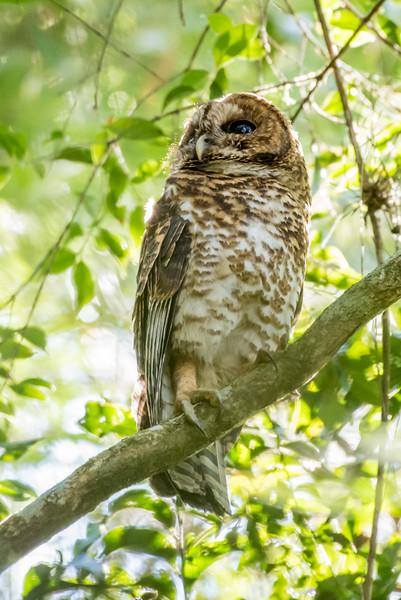 9-6-16 Rusty-barred Owl - Brazil-0174