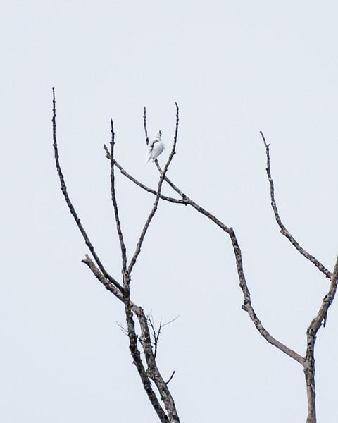 9-6-16 Bare-throated Bellbird - Brazil-0140