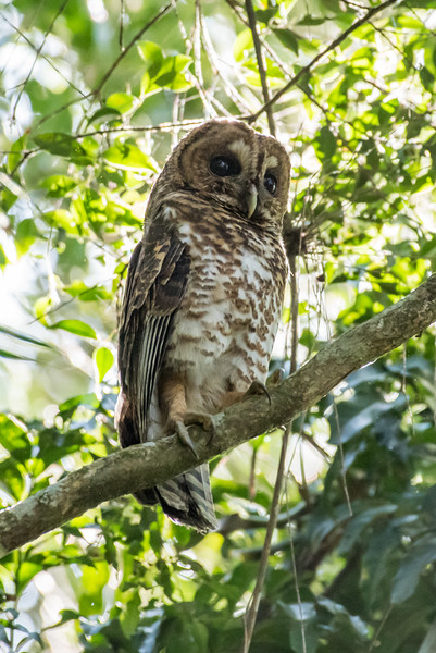 9-6-16 Rusty-barred Owl - Brazil-0168