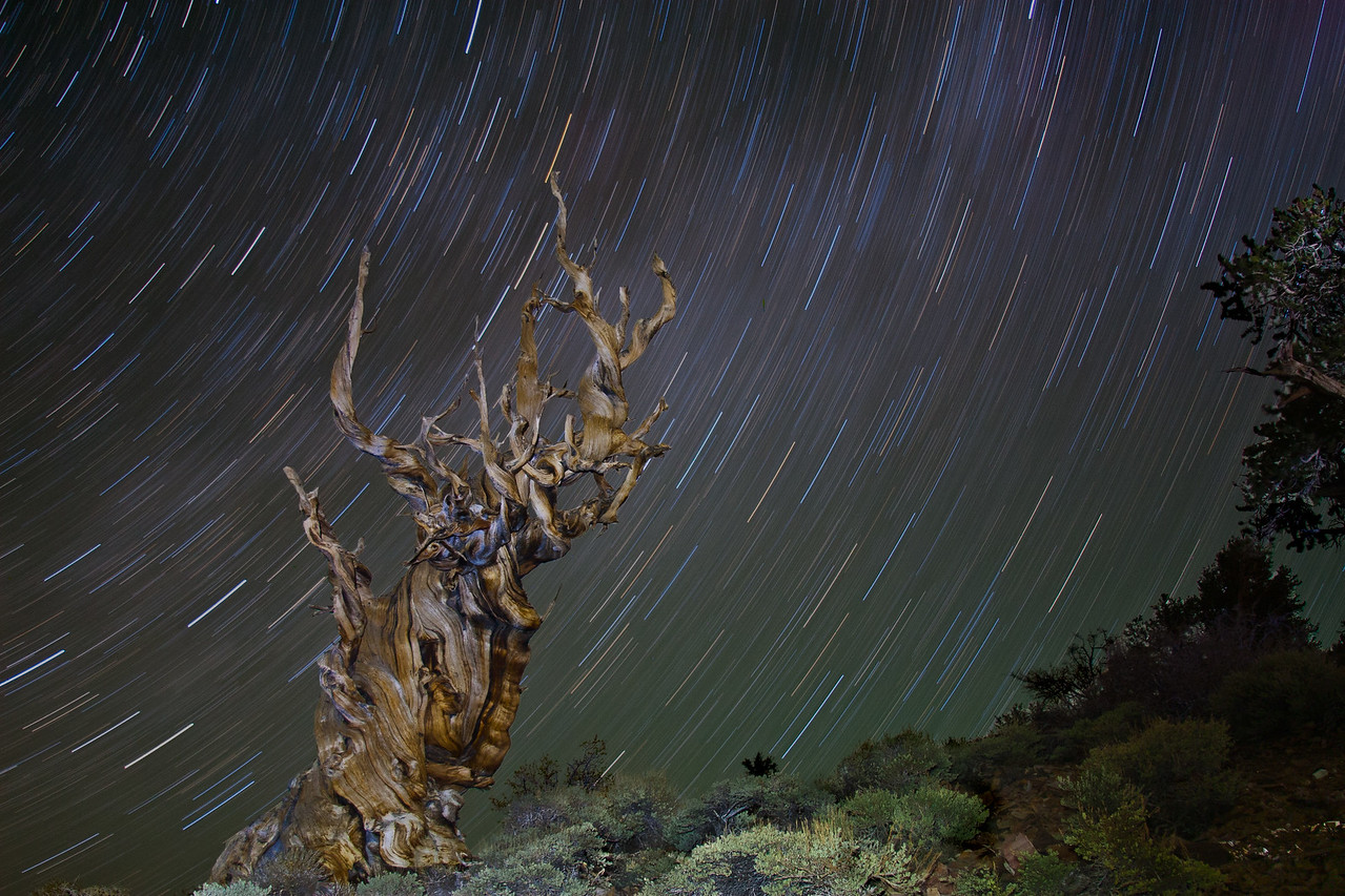 Star Trails and Bristlecone Tree