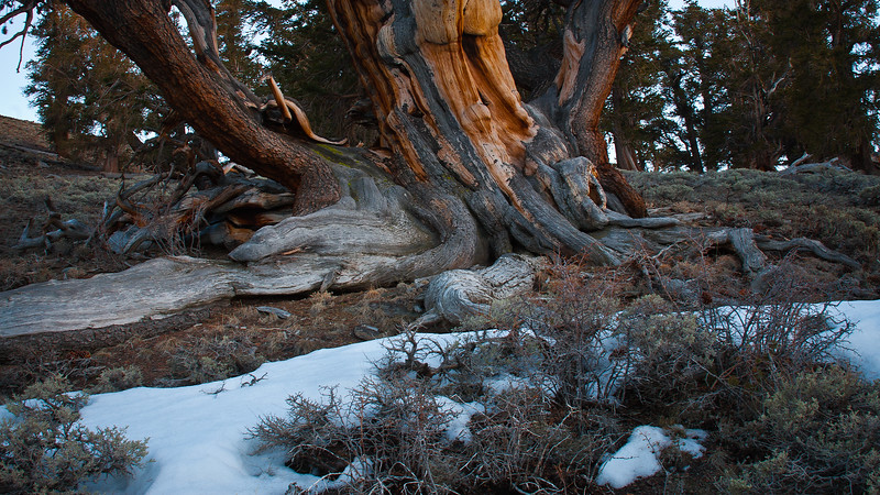 Bristlecone Roots in the Snow